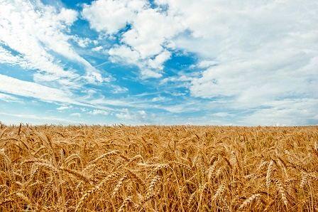 هدفگذاری تولید ۵۰۰ هزار تن گندم در استان زنجان