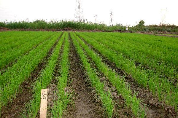 خشکهکاری برنج مصرف آب را تا 50درصد کاهش میدهد