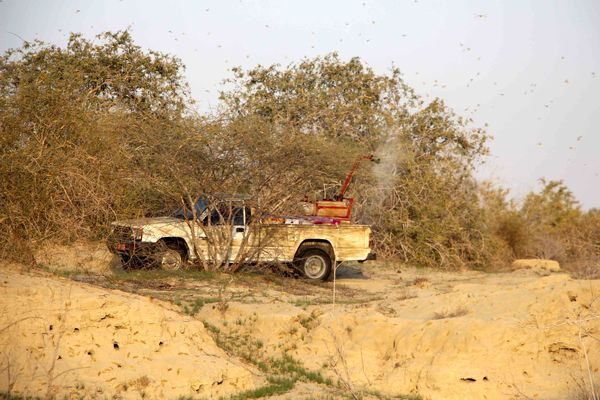 روزانه 1380 هکتار از مراتع سیستان وبلوچستان علیه ملخ صحرایی سمپاشی میشود