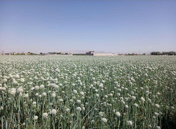 کشت ۳۵۰ هکتار پیاز بذری در منطقه قراملک تبریز