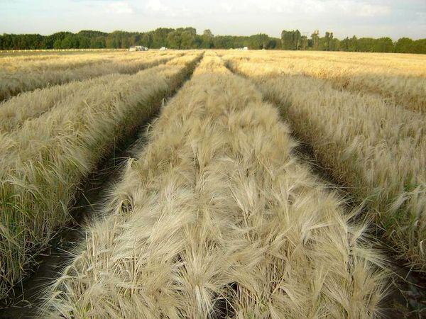 پیشبینی تولید  330 هزار تنی گندم در استان قزوین