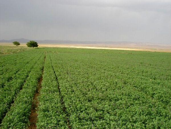 کیل گیری از مزرعه یونجه در سطح۴۷هکتار از اراضی کشاورزی شهرستان البرز انجام شد