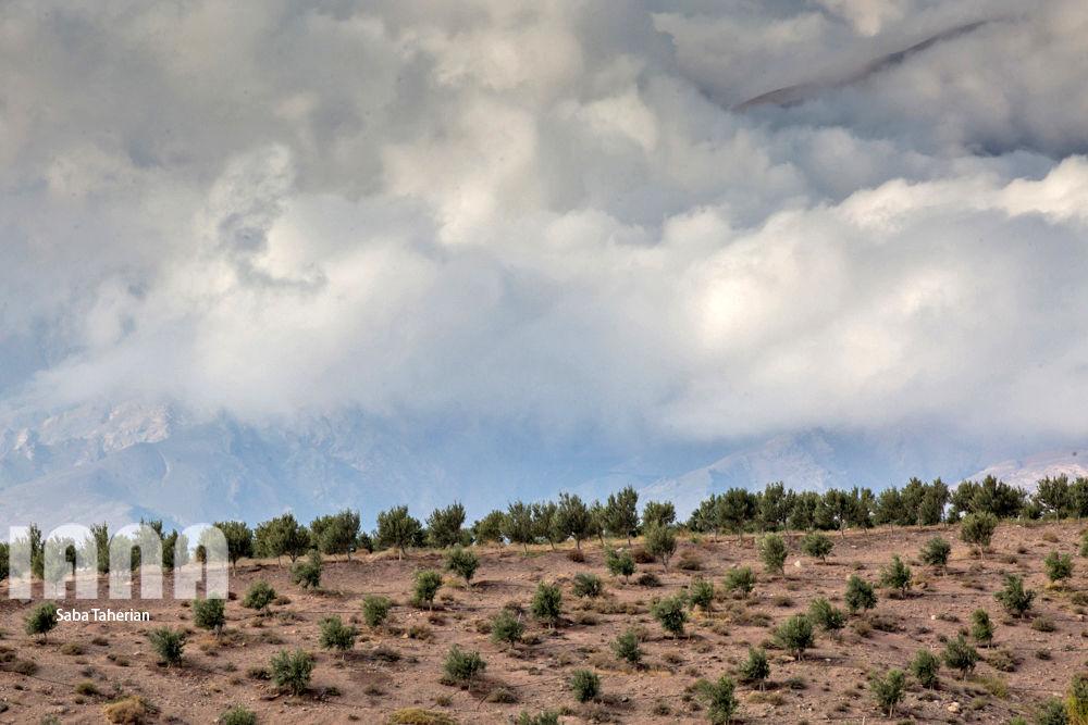 باغ بزرگ زیتونکشور در منجیل