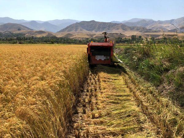 آغاز برداشت برنج از شالیزارهای قزوین