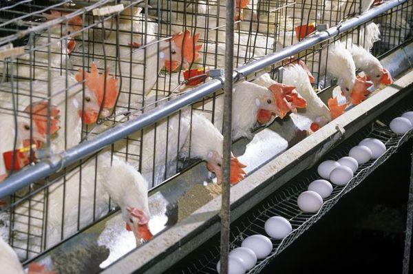 تولید ۳۴۰۰ تن تخممرغ در چهارمحال و بختیاری