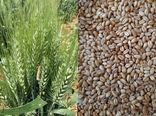 تامین بیش از 1600 تن گندم بذری دیم درکازرون