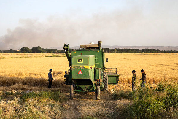 برداشت گندم از مزارع کشاورزی آبیک آغاز شد