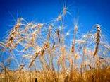 میزان برداشت گندم از مزارع استان بوشهر ۴۰ درصد کاهش مییابد