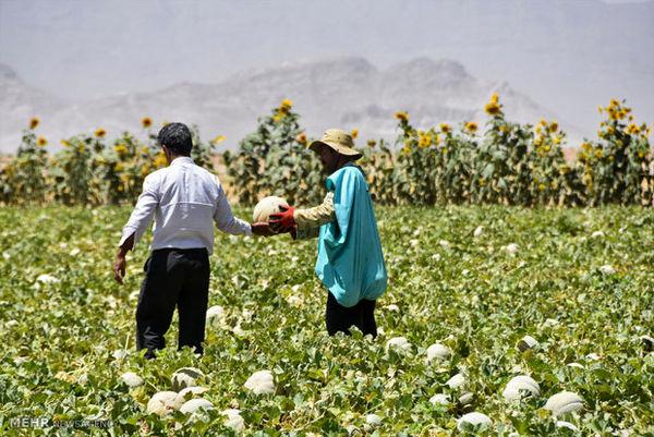 برداشت طالبی، مزارع سفیدشهر (نصرآباد) استان اصفهان