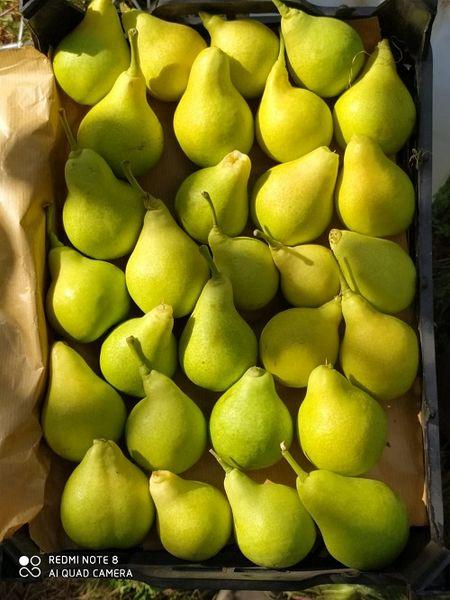 تولید 350 تن گلابی در سپیدان