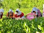 پرداخت کامل سهم دولت از خرید تضمینی برگ سبز چای