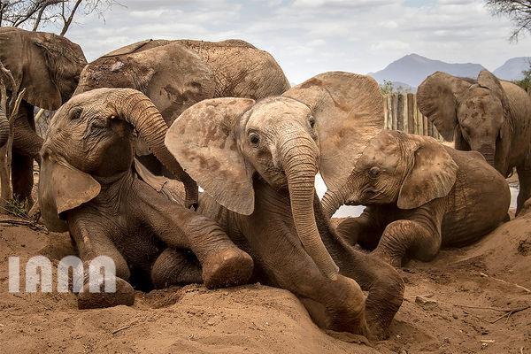 حمام خاک گرفتن فیلها