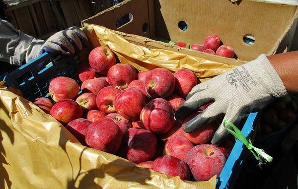 تولید 4.2 میلیون تن سیب درختی در سال 1400