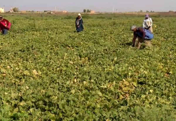روزهای پُر رونق برداشت صیفی از مزارع اردستان