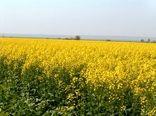 آغاز پایش کلزا در  سطح 5780 هکتار از اراضی کشاورزی استان قزوین