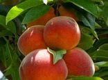 تولید سالانه ۴۶۵ هزار تن انواع محصولات باغی در استان البرز / رشد 5.5 درصدی