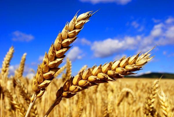 42 درصد از خرید تضمینی گندم توسط شبکه تعاون روستایی انجام شده است