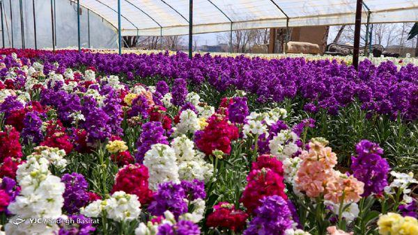 خمینی شهر بزرگترین تولیدکننده شب بوی گلدانی در کشور