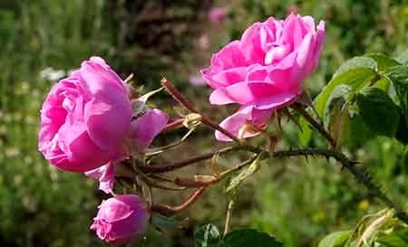 سطح زیر کشت تولید گل محمدی در استان ۲۱۰ تن است