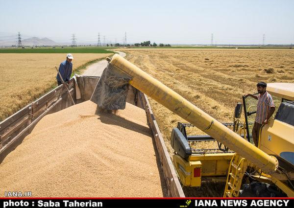 ۸.۲ میلیون تن گندم تاکنون از کشاورزان خریداری شد