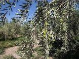 آغاز اصلاح باغهای سنتی زیتون در گیلان
