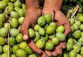 تولید محصول زیتون در یزد ۳۰ درصد افزایش یافت