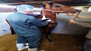 پایش و خونگیری  از 50 راس اسب علیه بیماری مشمشه در شهرستان شهربابک