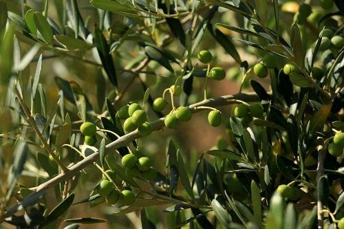 اجرای طرح مشترک تغذیه باغات زیتون در شهرستان پاکدشت