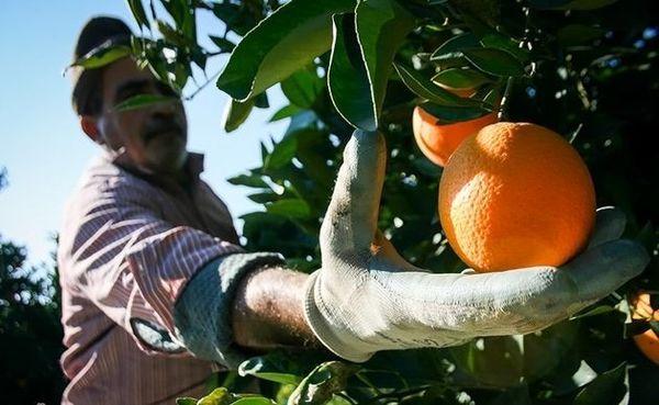افزایش پنج درصدی تولید پرتقال در هرمزگان