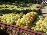 تولید انگور دیم در خراسان شمالی حدود ۲ برابر میانگین کشور است