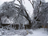 درختان را برف تکانی کنید