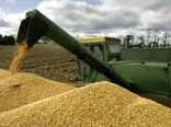 اتمام خرید تضمینی گندم در خراسان شمالی تا پایان شهریورماه