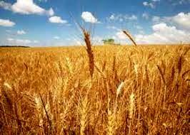نرخ خرید تضمینی گندم اعلام شد