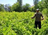 سمپاشی بموقع باغات انگور علیه بیماری سفیدک داخلی در خراسان شمالی
