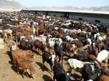 250 هزارراس دام درسیستان وبلوچستان واکسینه شدند