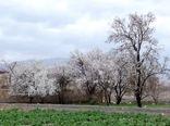 سرمازدگی بخشی از درختان بادام شهرستان کاشان