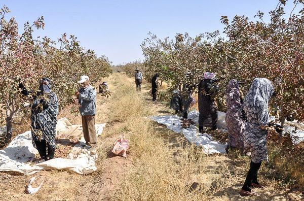 برداشت سه هزار تن پسته خشک از باغات پسته شهرستان شهربابک