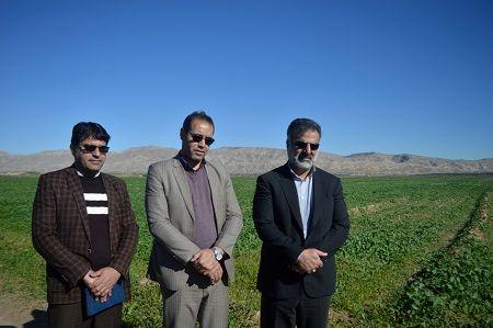 سطح سبز 100 درصدی بزرگترین مزرعه کلزای فارس