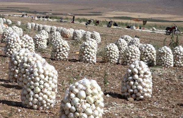 فریدن قطب تولید پیاز در استان اصفهان