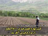 کشت بهاره چغندرقند در ۲۸۰۰ هکتار از مزارع کشاورزی استان قزوین آغاز شد