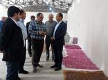 وزارت جهاد کشاورزی از توسعه زنجیره گل محمدی حمایت می کند