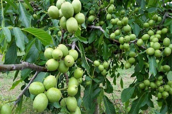 برداشت بیش از 7 هزار تن گردو از باغات استان