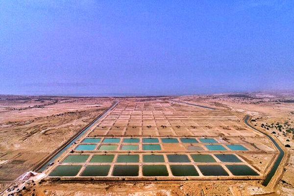 میزان تولید میگوی پرورشی در استان بوشهر ۳۸ درصد افزایش می یابد