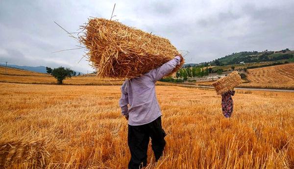 ۶۵ درصد اراضی گندم آبی و ۴۳ درصد گندم دیم خراسان شمالی زیر کشت پاییزه رفت