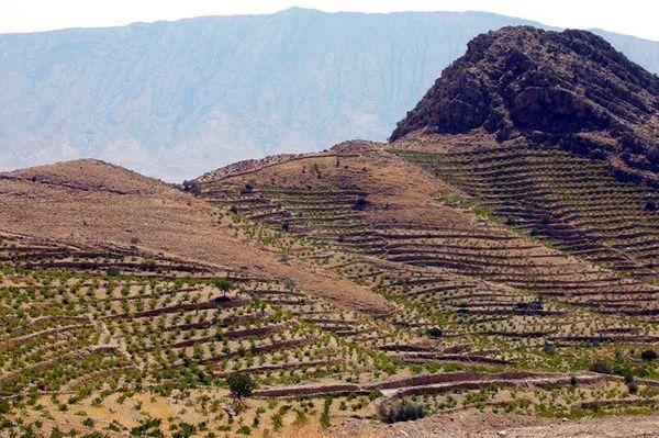 باغات دیم سهم ۳۲ درصدی از طرح پیشران کردستان دارد