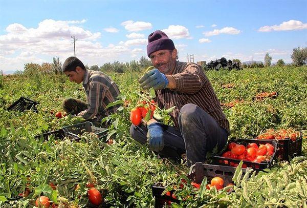 خرید حمایتی گوجه برای کنترل نرخ بازار، در صورت افت قیمت