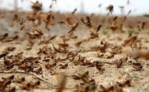مبارزه با ملخ در عرصههای کشاورزی استان 50 درصد افزایش یافت