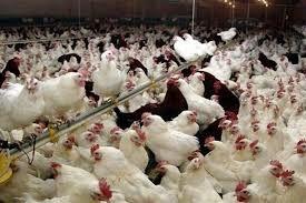 به ظرفیت مرغداریهای گوشتی زنجان افزوده میشود