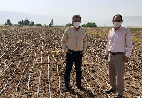 کشت برنج در فیروزآباد به روش خشکه کاری