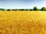 طرح کشت  مقایسه مزرعه ( pvs ) ارقام جو وگندم آبی در شهرستان بردسیر